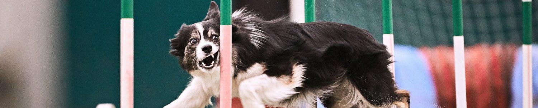 Luccagility dog